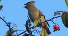 Read about the winter invasion of waxwing by clicking on the picture. Photo: Waxwing feasting on berries by Gavin Bennett. -- Suzie (BBOWT)