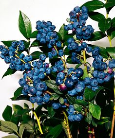 Blåbær 'Goldtraube'