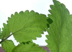Lemon balm leaves up close - read more about natural skincare and herbal beauty at herbhedgerow.co.uk