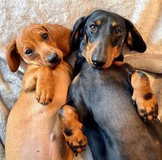 What a pair!  Seen that look a million times :-) #Dachshund