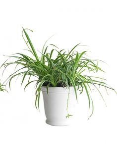 Houseplants For Any Kind Of Light Bathroom PlantsSpider