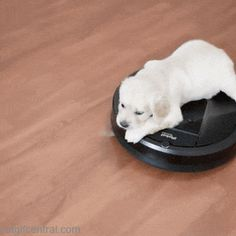 Pup on a Roomba