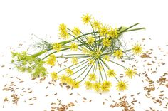 Fennel essential oil can be used to promote healthy digestion and respiratory function, while exuding a unique licorice aroma and flavor. Learn more about its benefits and how to use it with Flex5 Aromatherapy Consult!