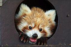 baby red panda <3