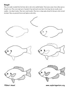 Bluegill (Fish) Drawing Lesson -- Exploring Nature Educational ...