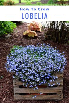 Grow And Care For Lobelia Tips on how to grow and care for lobelia. And why you MUST plant this annual in your garden this year!Tips on how to grow and care for lobelia. And why you MUST plant this annual in your garden this year! Container Gardening, Outdoor Plants, Garden Landscaping, Garden Inspiration, Plants, Shade Plants, Gardening Tips, Organic Gardening, Outdoor Gardens