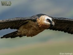"""©Jan Hattingh """"Bearded Vulture AKA Lammergeier"""" - A unique opportunity to own stunning 'WILD' photography with money raised going to the charity PhotoVoice Wild Photography, Prints For Sale, Bald Eagle, Charity, Birds, Animals, Opportunity, Money, Unique"""