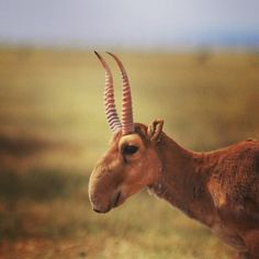 The saiga is a critically endangered antelope that is recognizable by its unusual, oversized, flexible nose structure called a proboscis. The saiga population has declined by 90% during the last decade because of poaching. Only 1% of the remaining population is male because their horns are targeted for traditional Eastern medicine. IFAW has supported anti-poaching efforts of the saiga antelope since 2005. Stepnoy, a popular birthing place for saiga, has been designated a protected territory.