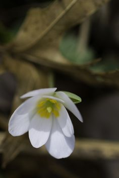 Sanguinaria canadensis, bloodroot    Source: https://imgur.com/AAsbsrs