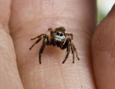 """""""I AM TINEEE JUMPING SPIDER -- FEAR ME!"""""""