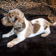 Poll Result: What is your favorite Queen Elizabeth Pocket Beagle color?