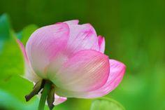 石岡・歴史と自然の街散策(nature and history in Ishioka): 大賀ハス 常陸風土記の丘・Ancient lotus O-ga Ishioka