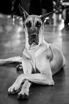 A handsome Great Dane.