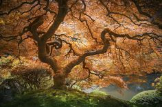 This is what a Japanese maple looks like.