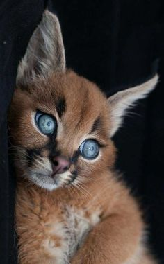 Caracal, Amazing and Exotic Feline as a Pet / Feline. Everything about the feline. / If you like animals and pets we would be happy to see you on our site about pets and pet products - Pretty Cats, Beautiful Cats, Animals Beautiful, Pretty Animals, Beautiful Creatures, Funny Cat Photos, Funny Cats, Funny Pictures, Cute Baby Animals