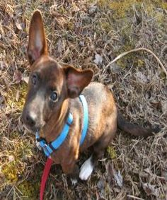 Red is an adoptable Dachshund Dog in Thorofare, NJ. Red is a 6 lb, 4 month old possibly Dachshund/Terrier mix. He loves all people, esp. children. Is a little love bug! I want to adopt this one sooo bad! I wish I had my own place!!