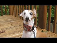 how to sew a martingale collar for a sight hound