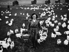 WHAT CHICKEN FARMS USED TO BE LIKE — Woman at work on Chicken Farm, 1941. Hulton-Deutsch Collection.