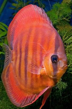 Discus Aquarium, Tropical Fish Aquarium, Discus Fish, Freshwater Aquarium Fish, Acara Disco, Oscar Fish, Fisher, Wale, Angel Fish