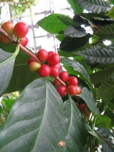 http://jungletropicale.com/2013/03/coffea-arabica/