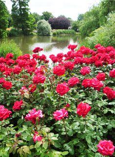ROSE GARDEN– Сообщество– Google+Garden Queen Mary Rose.
