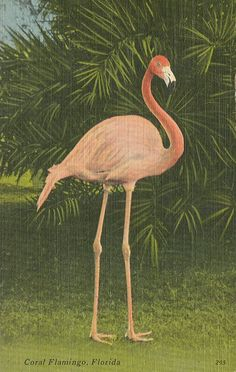 The Coral Flamingo is one of nature's greatest combination of grace and beauty, and at the Rare Bird Farm, just south of Miami, Florida, the. Florida Style, Old Florida, Vintage Florida, Floride Vintage, Pretty Birds, Beautiful Birds, Kitsch, Flamingo Art, Pink Flamingos