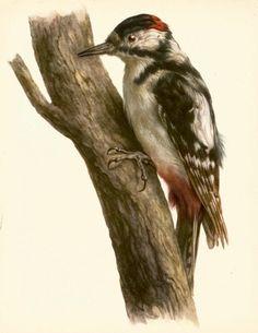 VINTAGE BIRD PRINT Great Spotted Woodpecker Bird Illustration Hunting Lodge and Cottage Decor Vintage Animal Print (faf 13)