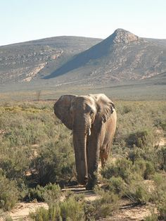 Elephant at Aquila Game Reserve. Quote & Book:http://www.south-african-hotels.com/