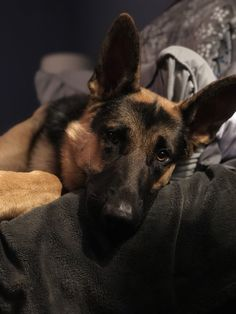 Lovely, thoughtful GSD