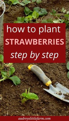 Learn how to plant strawberries in your garden step by step. Whether you are planting strawberries in raised beds, strawberry pots, or in the ground, this post will help guide you. art design landspacing to plant Strawberry Bush, Strawberry Garden, Fruit Garden, Edible Garden, Strawberry Plant Care, Garden Fun, Garden Steps, Farm Gardens, Outdoor Gardens