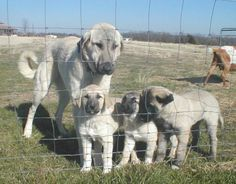 Kurdish kangal dog. . Biiiiig
