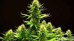 Critical Jack, by #Dinafem seeds. #Marijuana #Cannabis #Pot #Weed #Ganja
