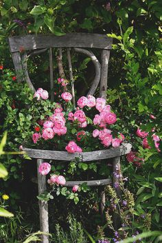 An old wooden chair in the garden.... now adorned with new life and pink blossoms.