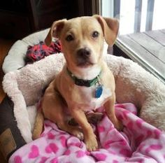 Baxter is an adoptable Labrador Retriever Dog in Cedar Rapids, IA.  Hello! My name is Baxter. I am happy, lovinglittle guy and I am looking for my forever home. I love to meet new people and my tail...