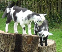 Definitely NEED at least two goats for my small-holding when I win the lottery :D