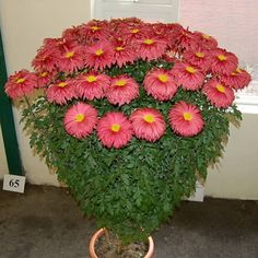 CHRYSANTHEMUMS in ABERDEEN - UK Late National - Interesting items 2010