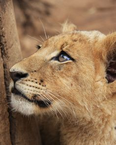 One of the most majestic and regal feline species, the African lion (Panthera leo) resides in parts of sub-Saharan Africa, from the southern fringe to northern South Africa. A small number of Asian lions can also be found in the Gir Forest of northwest India. Since the 1950s, the African lion population has been reduced by half. Today, fewer than 22,600 remain in all of Africa, according to the conservation group Defenders of Wildlife.