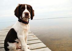 English Springer Spaniel dog on the bridge photo and wallpaper ...