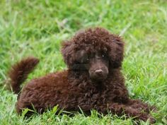 chocolate poodle | cute poodle puppies