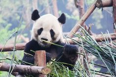Top 4 Places to See Pandas in China Adorable giant pandas attract millions of tourists to come to China every year. Among the different regions of China, Sichuan has the most amount of panda. In China, Chengdu, Image Panda, Panda Facts, Panda Day, Cute Panda, Like A Local, China Travel, Spirit Animal