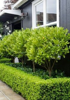 Star jasmine underneath, surrounded by box hedge. Star jasmine underneath, surrounded by box hedge. Front Yard Hedges, Front Yard Landscaping, Landscaping Ideas, Boxwood Landscaping, Landscaping Software, Patio Ideas, Backyard Ideas, Kumquat Tree, Small Front Gardens