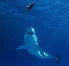 sharks | Great White Sharks Adaptations