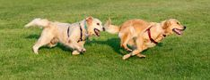 Why Does My Golden Retriever Look Sad? - Retriever Advice - Golden Retrievers, Labrador Retrievers, Chesapeake Bay Retriever, Flat-Coated Retriever, Curly-Coated Retriever, Nova Scotia Duck Tolling Retriever Curly Coated Retriever, Amphibians, Reptiles, Nova Scotia Duck Tolling Retriever, Golden Labrador, Labrador Retrievers, Golden Retrievers, Goldendoodle, Happy Dogs