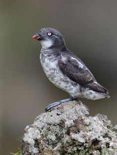 """Least Auklet (Aethia pusilla.)    (""""Least Auklet."""")     Google search: """"The Least Auklet (Scientific name:Aethia pusilla) is a seabird and the smallest species of Auk. It is the most abundant seabird in North America, and one of the most abundant in the world, with a population of around nine million birds.Wikipedia."""""""