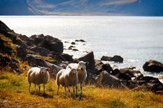 Norway – Lofoten Sheep