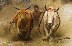 Explosion http://www.brucelevick.com/explosion/ Two big bulls explode as a local resident partaken in the age old tradition in West Sumatra called Pacu Jawi.  #Beautifulworld, #Bulls, #Exploreasia, #Exploreindonesia, #Indonesia, #Mysumatra, #PacuJawi, #Padang, #Photography, #Sumatra, #Travel, #VisitSumatra, #WestSumatra, #Wonderfulindonesia