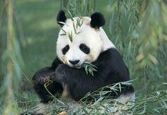 Sauvez les pandas