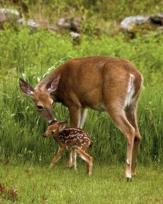Mom and baby – Marianne Wutz - Baby Animals Deer Pictures, Baby Animals Pictures, Cute Animal Pictures, Cute Baby Animals, Funny Animals, Mother And Baby Animals, Deer Photos, Nature Pictures, Forest Animals