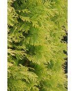Yellow Ribbon Arborvitae (Thuja occidentalis Yellow Ribbon) - 8-10' tall x 2-3' wide