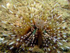 Starfish / Urchin : Zebra Urchin